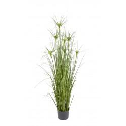 Planta Papiro