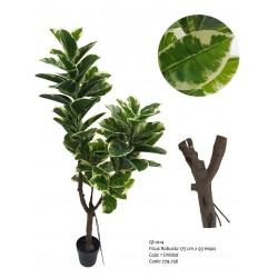 Planta Ficus Robusta
